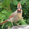 DSC_1750 Northern Cardinal Rose-breasted Grosbeak May 15 2016