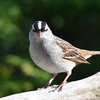 DSC_1638 White-crowned Sparrow May 14 2016