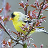 DSC_1823 American Goldfinch May 17 2016