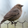 DSC_1796 Brown-headed Cowbird May 17 2016