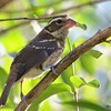 DSC_2738 Rose-breasted Grosbeak July 15 2016
