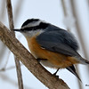 DSC_0996 Red-breasted Nuthatch Feb 28 2016