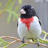 DSC_1737 Rose-breasted Grosbeak May 15 2016