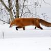 DSC_0276 Fox Jan 24 2016