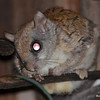 DSC_2508 Flying Squirrel June 30 2016