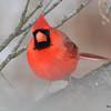 DSC_0144 Northern Cardinal Jan 9 2016