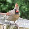 DSC_1752 Northern Cardinal May 15 2016