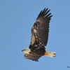 DSC_0753 Bald Eagle Feb 12 2016