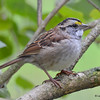 DSC_4797 White-throated Sparrow Oct 30 2016