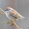 DSC_1211 American Tree Sparrow Apr 4 2016