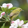 DSC_2105 Tennessee Warbler May 25 2016