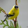 DSC_2269 American Goldfinch May 27 2016