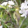 DSC_2113 Tennessee Warbler May 25 2016
