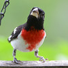 DSC_2682 Rose-breasted Grosbeak July 8 2016