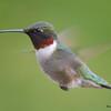 DSC_1808 Ruby-throated Hummingbird May 17 2016