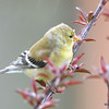 DSC_1705 American Goldfinch May 15 2016