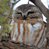 DSC_0441 Northern Saw-whet Owl Feb 4 2016
