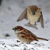 DSC_0188 House Sparrow Jan 15 2016