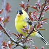 DSC_1824 American Goldfinch May 17 2016