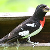 DSC_2686 Rose-breasted Grosbeak July 8 2016