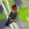 DSC_2285 Ruby-throated Hummingbird May 28 2016