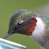 DSC_1831 Ruby-throated Hummingbird May 17 2016