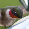 DSC_1817 Ruby-throated Hummingbird May 17 2016