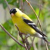 DSC_1669 American Goldfinch May 14 2016