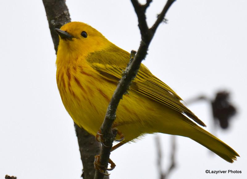DSC_2355 Yellow Warbler June 11 2016