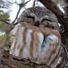 DSC_0418 Northern Saw-whet Owl Feb 4 2016