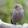 DSC_1794 Brown-headed Cowbird May 17 2016