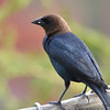 DSC_1584 Brown-headed Cowbird May 14 2016