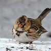DSC_0233 Harris Sparrow Jan 15 2016