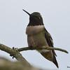 DSC_1631 Ruby-throated Hummingbird May 14 2016
