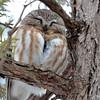 DSC_0428 Northern Saw-whet Owl Feb 4 2016