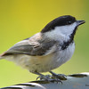 DSC_2259 Black-capped Chickadee May 27 2016