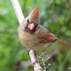 DSC_1757 Northern Cardinal May 15 2016