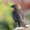 DSC_1652 Brown-headed Cowbird May 14 2016