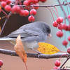 DSC_4761 Dark-eyed Junco Oct 30 2016