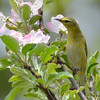 DSC_2132 Tennessee Warbler May 25 2016