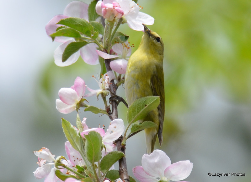DSC_2135 Tennessee Warbler May 25 2016