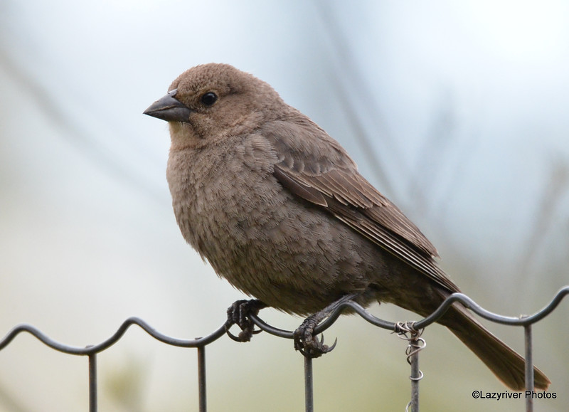DSC_1798 Brown-headed Cowbird May 17 2016