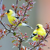 DSC_1818 American Goldfinch May 17 2016