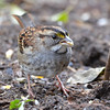 DSC_4766 White-throated Sparrow Oct 30 2016
