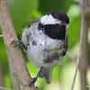 DSC_2695 Black-capped Chickadee July 8 2016