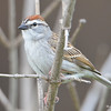 DSC_1634 Chipping Sparrow May 14 2016