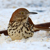 DSC_0229 Brown Thrasher Jan 15 2016