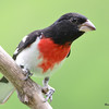 DSC_2678 Rose-breasted Grosbeak July 8 2016