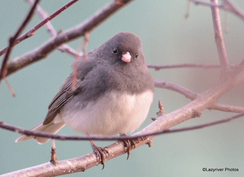 DSC_1214 Dark-eyed Junco Apr 4 2016