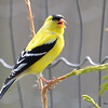 DSC_1878 American Goldfinch May 21 2016